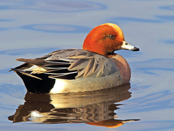 Wigeon credit Mike Richardson