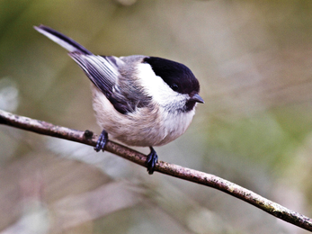 Willow tit credit Harry Hogg