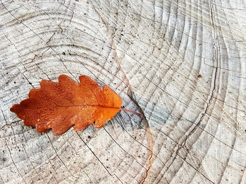 Oak leaf on wood