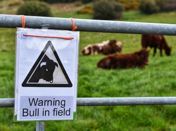 Bull in field sign at Stirley
