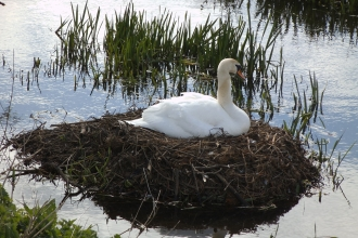 Swan nesting on River Wiske Credit Claire Burton