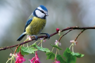 Blue Tit in summer