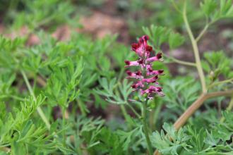 Fumitory at Carr Lodge Credit Jim Horsfall