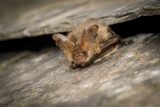 Brown long-eared bat credit Tom Marshall