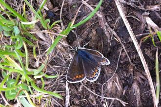 Common blue butterfly at Littleworth Park Credit Shelagh Bullimore