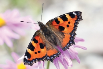 Small tortoiseshell credit Jim Higham