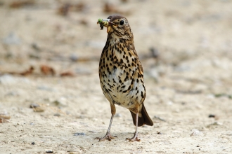 Song thrush credit Amy Lewis