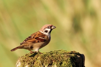 Tree sparrow credit Adam Jones