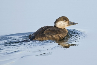 Common scoter female