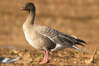 Photo of pink footed goose