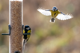 Great and Blue Tit © Darren Ward 2020