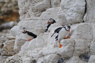 Puffins at Flamborough Cliffs