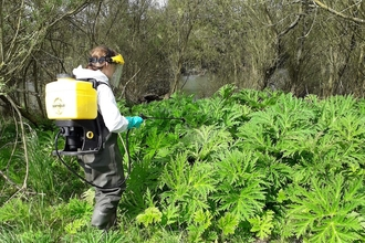 Treating giant hogweed Derwent