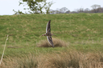 Snipe at Barmby on the Marsh wetlands