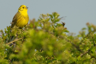 Male yellowhammer © Chris Gomersall/2020VISION
