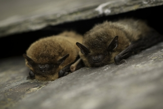 Common pipistrelle © Tom Marshall