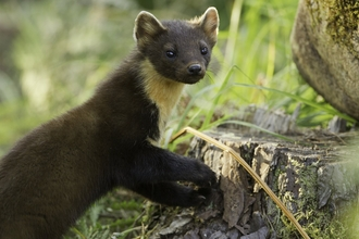 Image of a pine marten © Mark Hamblin/2020VISION