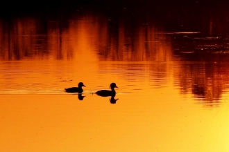 Tufted ducks at sunset