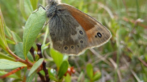 Large heath butterfly - Allan Rodda