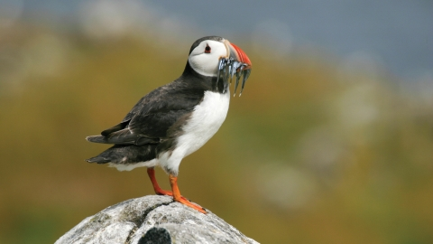 Puffin at Flamborough - Tom Marshall