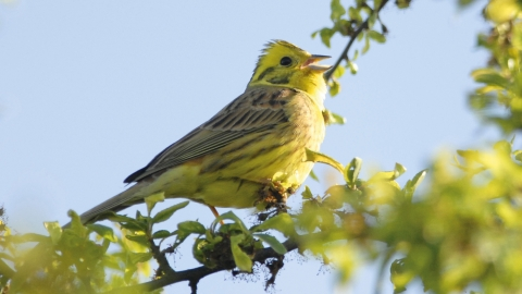 Yellowhammer - Maurice Gordon