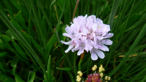 Welwick Saltmarshe Sea Thrift Credit Kirsty Brown