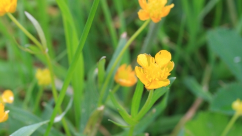 Goldilocks buttercup at Hopyard Haymeadow Credit Jim Horsfall