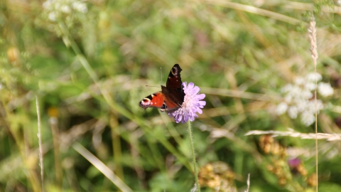 Peacock on field scabious at Bishop Monkton - Credit Alan Redden