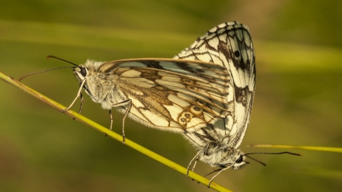 Marbled whites Townclose