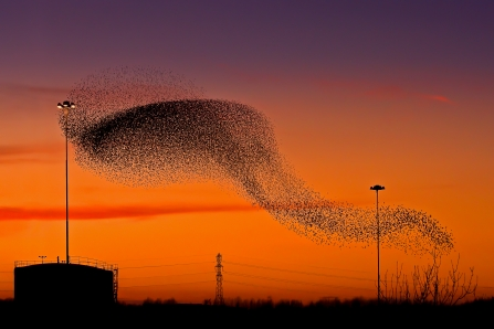 Starling Murmation - Phil Selby