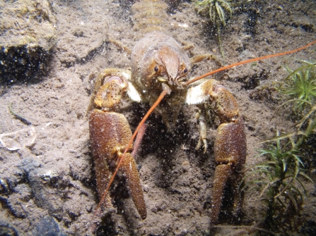 White-clawed crayfish credit Andy Kirkland