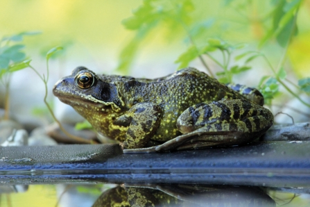 Common frog © Jim Higham