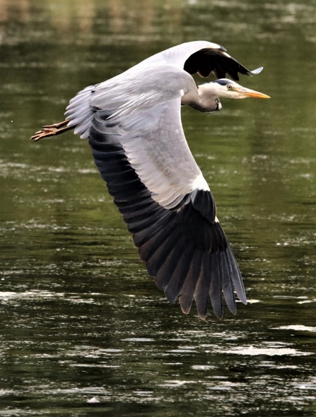 Grey heron © Malcolm Harris
