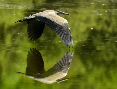 Grey heron © Paul Langley
