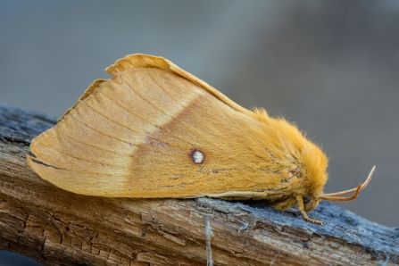 female Oak eggar © Derek Parker