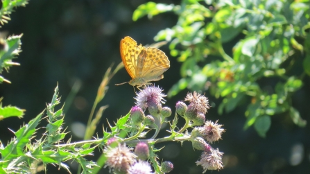 Silver-washed fritillary (taken on 15th) © Phil Woods
