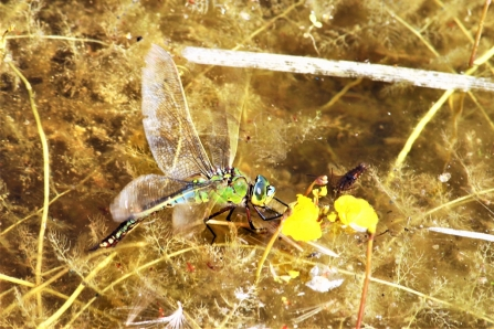 Emperor dragonfly laying eggs © Keith Lynes