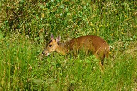 Muntjac © Amy Thompson