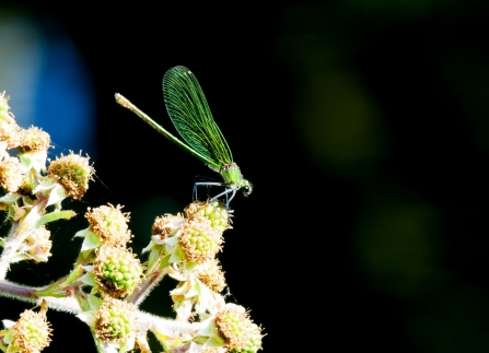 female Banded demoiselle © Colin O'Neil