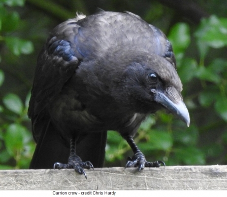 Carrion crow - Adel Dam