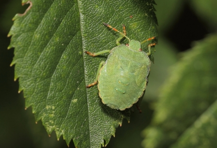 Common green shield bug © Allen Holmes