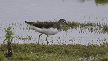 Green sandpiper © Barry Wardley