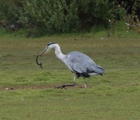 Grey heron with Grass snake © Iain Macaulay