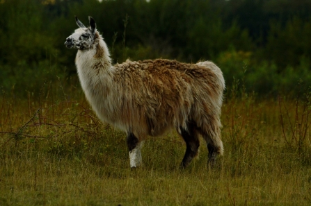 Llama (used for habitat control) © Matthew Christou