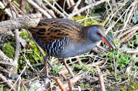 Water rail © Matthew Christou