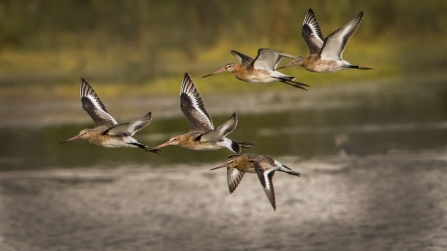 Black-tailed godwits © Steve Ditch