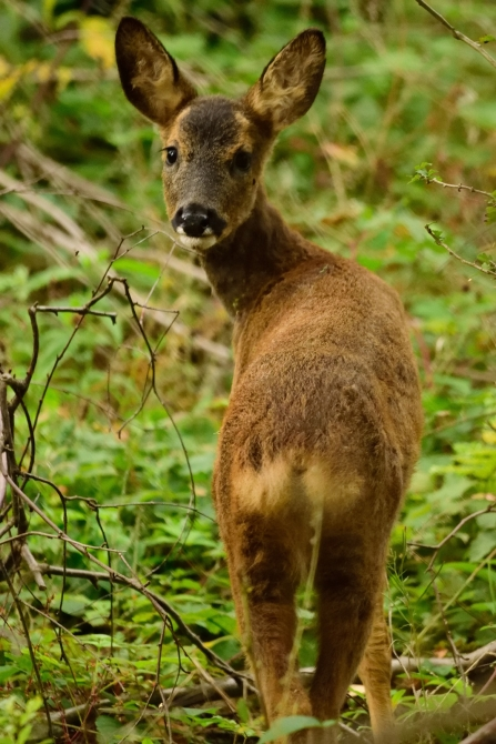 Roe deer © Amy Thompson