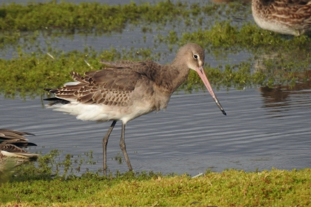 Black-tailed godwit © Richard Scott