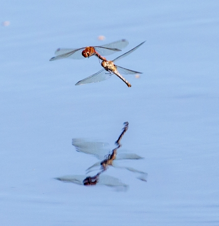 Common darters © Vernon Barker