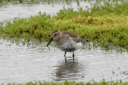 Dunlin © Richard Scott